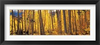 Framed Autumn Aspen trees, Colorado, USA