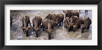 Framed Herd of Blue wildebeests (Connochaetes taurinus) at a waterhole, Mkuze Game Reserve, Kwazulu-Natal, South Africa