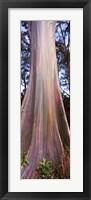 Framed Rainbow eucalyptus (Eucalyptus deglupta) tree, Hana Highway, Maui, Hawaii, USA