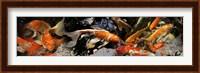 Framed Koi carp