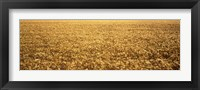 Framed Panorama of amber waves of grain, wheat field in Provence-Alpes-Cote D'Azur, France