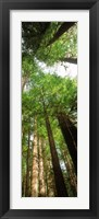 Framed Coast Redwood (Sequoia sempivirens) trees in a forest, California, USA