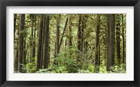 Framed Trees in a forest, Quinault Rainforest, Olympic National Park, Washington State