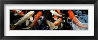 Framed Koi Carp swimming underwater