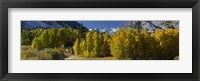 Framed Quaking aspens (Populus tremuloides) in autumn, Californian Sierra Nevada, Bishop, California, USA