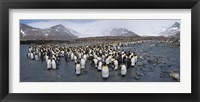 Framed King penguins colony, St Andrews Bay, South Georgia Island