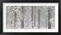 Framed Snow covered Ponderosa Pine trees in a forest, Indian Ford, Oregon, USA