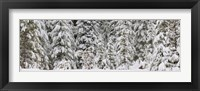 Framed Snow covered pine trees, Deschutes National Forest, Oregon, USA