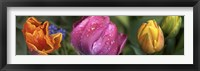 Framed Close up of Colorful Tulips