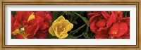 Framed Close-up of red and yellow tulips