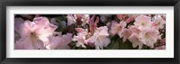 Framed Multiple images of pink Rhododendron flowers