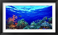 Framed Underwater view of Pallid triggerfish, Oriental Sweetlips and Longfin bannerfish with Yellowbar Angelfish