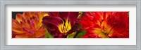 Framed Close-up of orange flowers