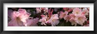 Framed Close-up of pink rhododendron flowers