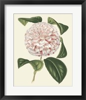 Framed Antique Camellia III