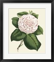 Framed Antique Camellia IV