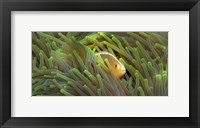 Framed Close-up of a Skunk Anemone fish and Indian Bulb Anemone