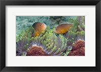 Framed Two Skunk Anemone fish and Indian Bulb Anemone