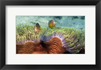 Framed Skunk Anemone and Indian Bulb Anemone