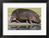 Framed Side profile of a hippopotamus walking, Ngorongoro Crater, Ngorongoro Conservation Area, Tanzania (Hippopotamus amphibius)
