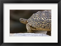 Framed Close-up of a Leopard tortoise, Tarangire National Park, Arusha Region, Tanzania (Geochelone pardalis)