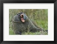 Framed Close-up of an Olive baboon yawning, Lake Nakuru, Kenya (Papio anubis)