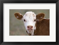 Framed Calf Portrait