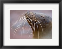 Framed Close-up of a Galapagos Sea Lion, Galapagos Islands, Ecuador