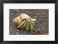 Framed Close-up of a Hermit crab (Coenobita clypeatus), Galapagos Islands, Ecuador