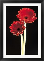 Framed Close up of two deep red flowers with white stems on black background