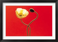 Framed Close up cream poppy and seed pod on red background
