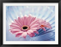 Framed Close up of two pink gerbera daisies in water ripples