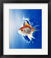 Framed Orange, yellow and white fish flying through water splash
