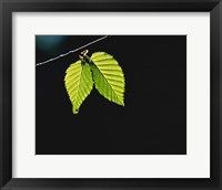 Framed Two green leaves on thin branch on black