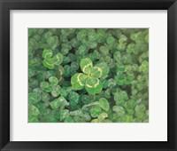 Framed Close up of green clover