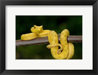 Framed Close-up of an Eyelash viper (Bothriechis schlegelii), Arenal Volcano, Costa Rica