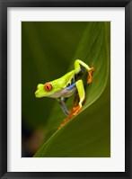 Framed Close-up of a Red-Eyed Tree frog (Agalychnis callidryas) sitting on a leaf, Costa Rica
