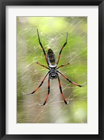 Framed Close-up of a Golden Silk Orb-weaver, Andasibe-Mantadia National Park, Madagascar