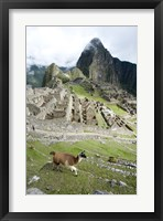 Framed High angle view of Llama (Lama glama) with Incan ruins in the background, Machu Picchu, Peru
