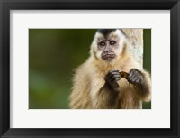 Framed Close-up of a Brown capuchin (Cebus apella), Three Brothers River, Meeting of the Waters State Park, Pantanal Wetlands, Brazil