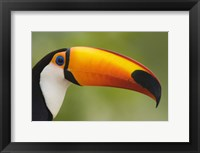 Framed Close-up of a Toco toucan (Ramphastos toco), Three Brothers River, Meeting of the Waters State Park, Pantanal Wetlands, Brazil