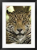 Framed Close-up of a Jaguar (Panthera onca), Three Brothers River, Meeting of the Waters State Park, Pantanal Wetlands, Brazil