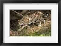 Framed Jaguar (Panthera onca) foraging in a forest, Three Brothers River, Meeting of the Waters State Park, Pantanal Wetlands, Brazil