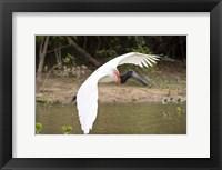 Framed Jabiru Stork (Jabiru mycteria) over Water, Three Brothers River, Meeting of the Waters State Park, Pantanal Wetlands, Brazil