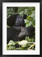 Framed Mountain Gorilla (Gorilla beringei beringei) in a forest, Bwindi Impenetrable National Park, Uganda