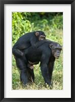 Framed Female chimpanzee (Pan troglodytes) carrying its young one on back, Kibale National Park, Uganda