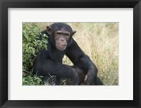 Framed Chimpanzee (Pan troglodytes) in a forest, Kibale National Park, Uganda