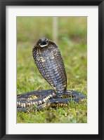 Framed Close-up of an Egyptian cobra (Heloderma horridum) rearing up, Lake Victoria, Uganda