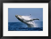 Framed Humpback whale (Megaptera novaeangliae) breaching in the sea