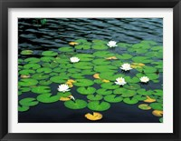 Framed Lily pads with water lily